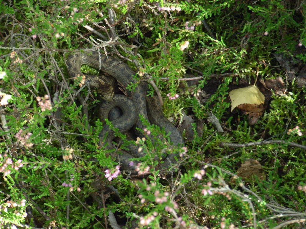Медянки, или гладкие полозы зверушки,живность,питомцы,Животные