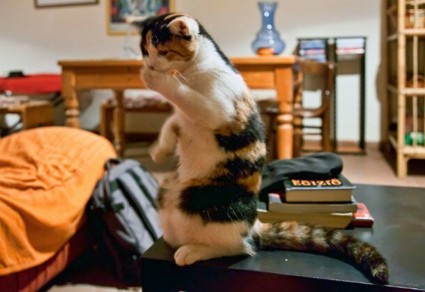 25 ситуаций, в которых кошки ведут себя как люди   Интересное