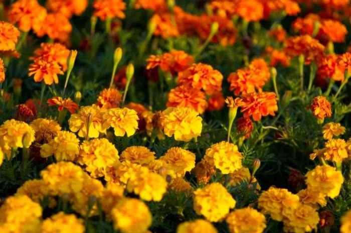 Имеретинский шафран Бархатцы,имеретинский шафран,кулинария,рецепты,Специи,цветы