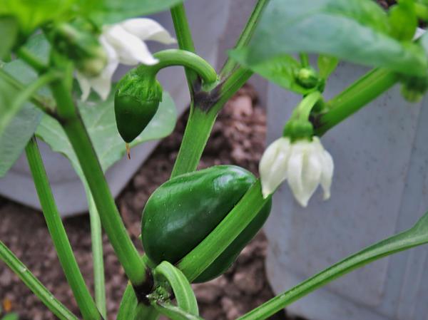 Выращиваем перец - секреты легкого урожая огород