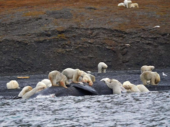 Почему участились встречи людей с белыми медведями зверушки,живность,питомцы,Животные